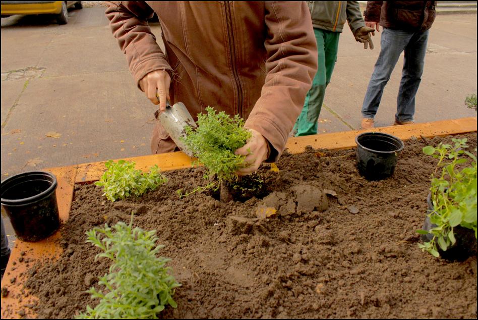 Kräuter werden in die Erde der Hochbeete gepflanzt
